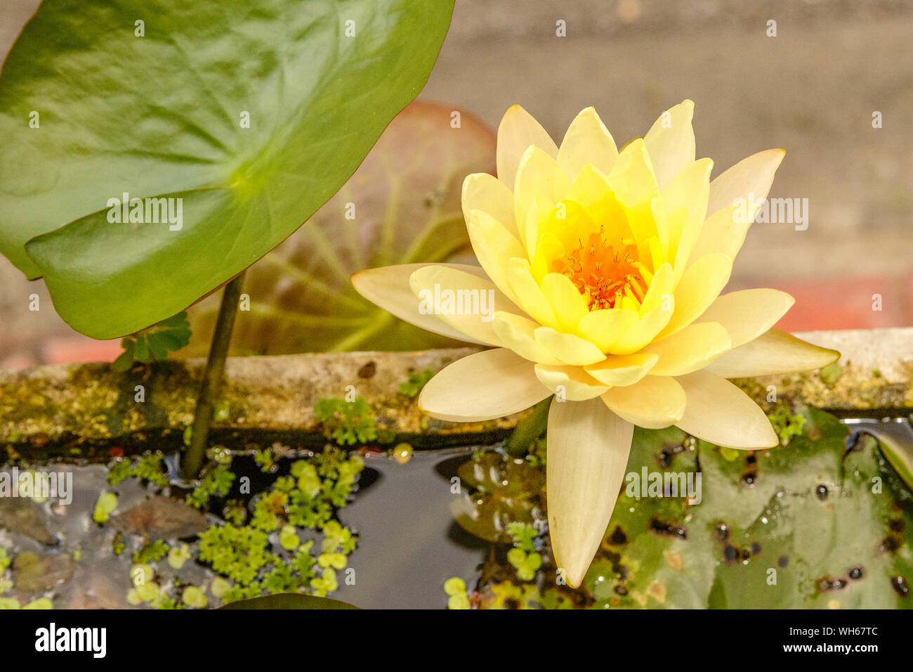 Blooming yellow Water Lilly in a pot on the streets of Bangkok. Thailand. Stock Photo