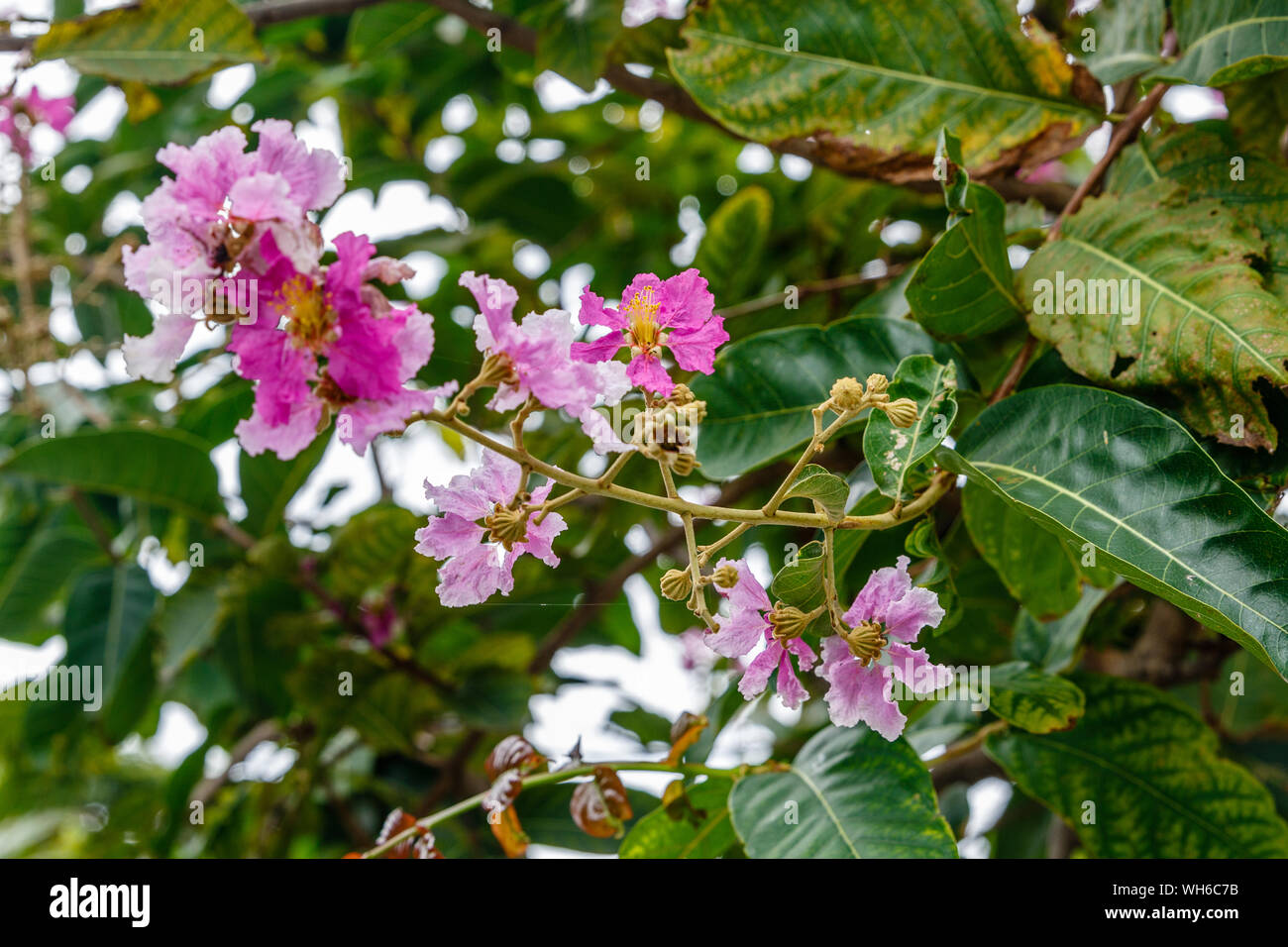 Blooming pink Lagerstroemia, or crapemyrtle tree in a park in Bangkok, Thailand. Stock Photo