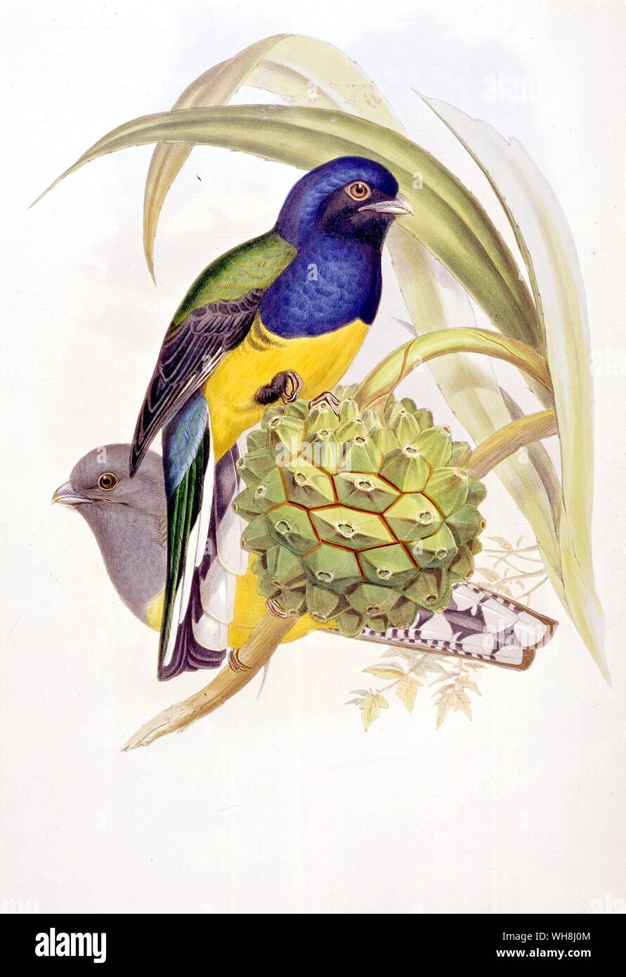The black-winged Trogon (Trogon viridis), by John Gould  (1804 -1881) from Darwin and the Beagle by Alan Moorhead, page 71. Stock Photo
