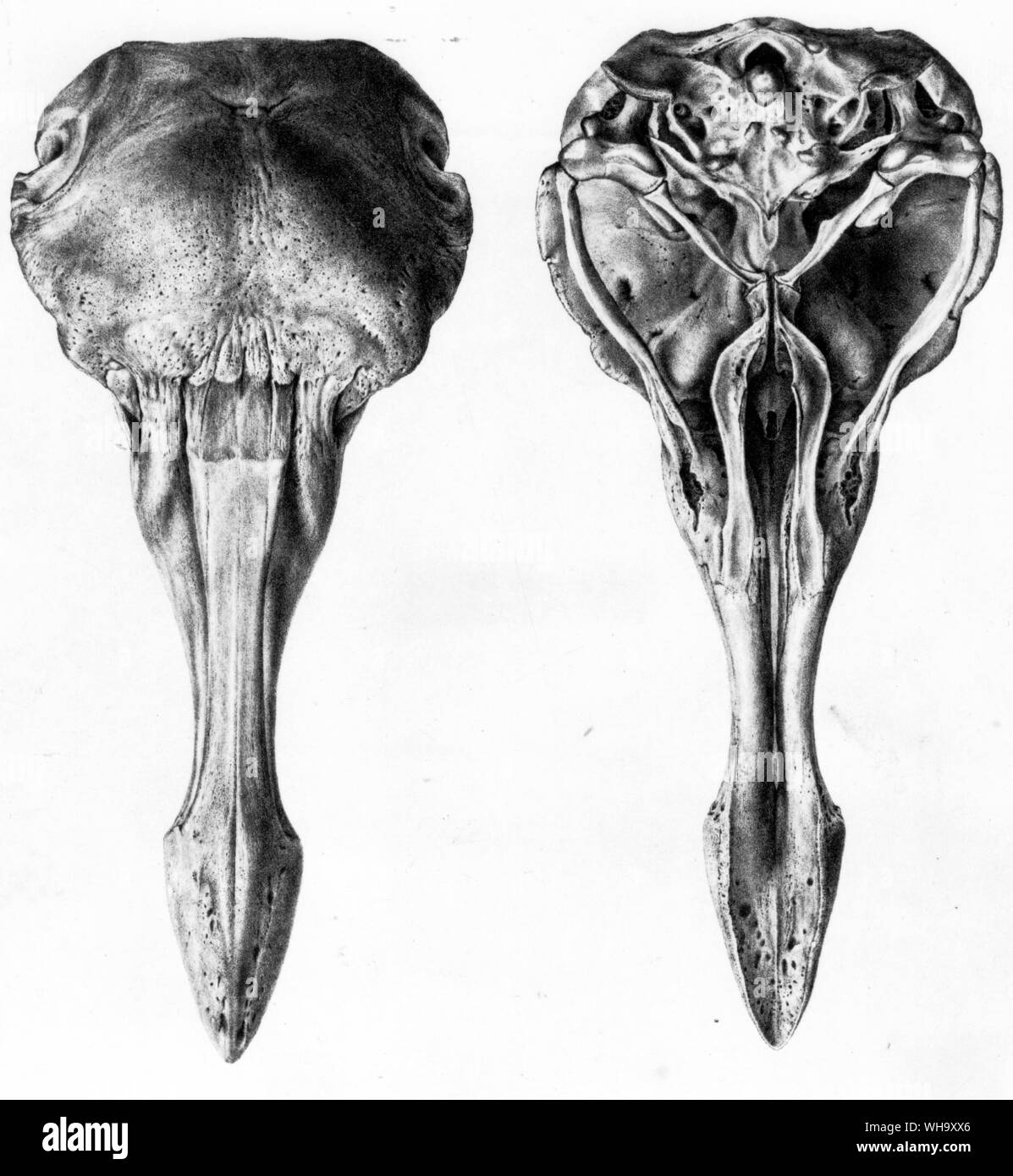Dodo skull from above and below. Lithographs from H.E. Strickland and A.G. Melville's The Dodo and its Kindred (London, 1848) - Length of bird 100cm (3ft 3in) Stock Photo