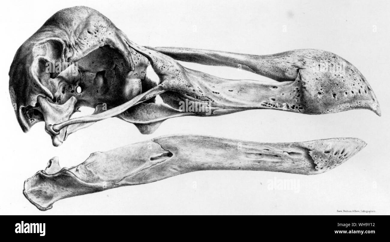 Dodo skull from side.  Lithographs from H.E. Strickland and A.G. Melville's The Dodo and its Kindred (London, 1848) - Length of bird 100cm (3ft 3in) Stock Photo