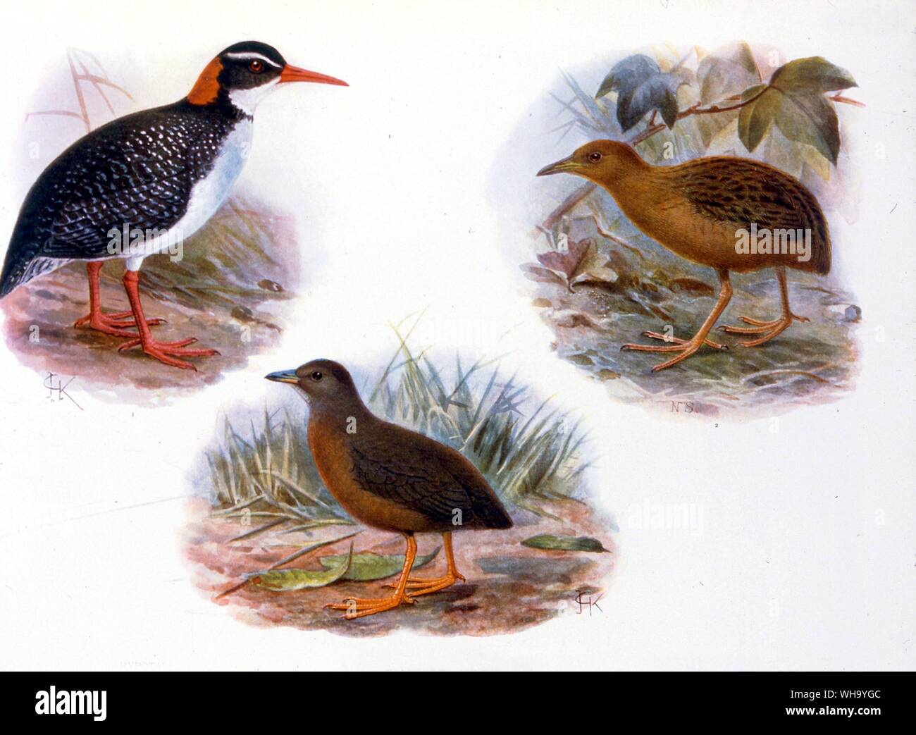 Extinct Rails. Top right: Hawaiian Rail (Porzana sandwichensis); middle: a dark form of P. sandwichensis or perhaps a separate species (P. millsi); top left: Tahitian Red-billed Rail (Rallus pacificus). Chromolithographs from W. Rothschild's Extinct Birds (London, 1907), Pl.26. Courtesy of The Hon. Miriam Rothschild. - Hawaiian Rail is 14cm (5.5in) in length Stock Photo