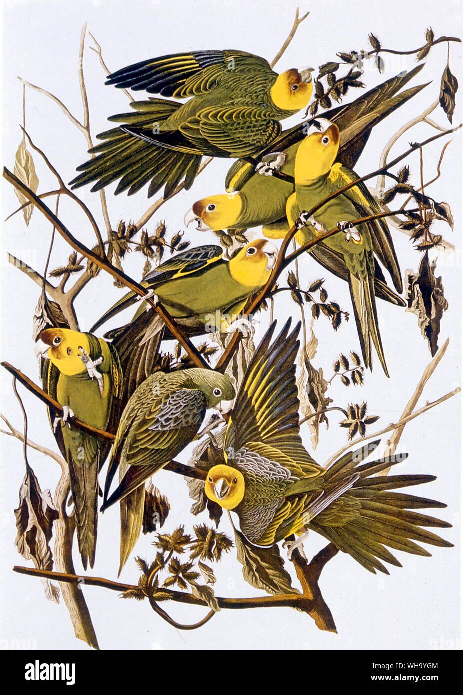 Carolina Parakeets. Aquatint by J.J. Audubon and R. Havall the younger from Audubon's Birds of America (London, 1827-38), Pl.26. - Length of bird 30cm (12in) Stock Photo