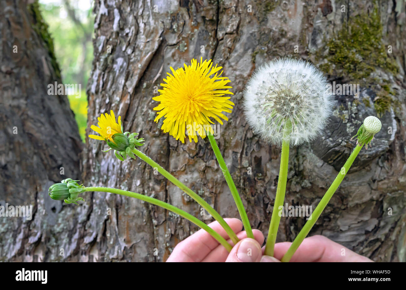Dandelion flower. The life cycle of a dandelion. Stages of ...