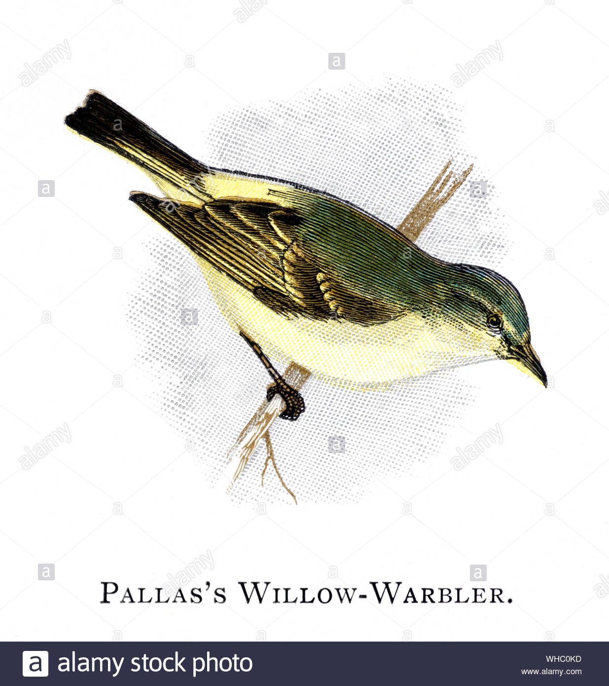 Pallas's Willow Warbler (Phylloscopus proregulus), vintage illustration published in 1898 Stock Photo