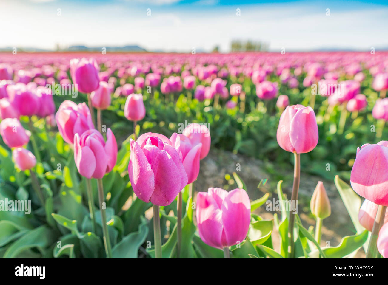 Pastel pink tulip field growing in the sun. Stock Photo