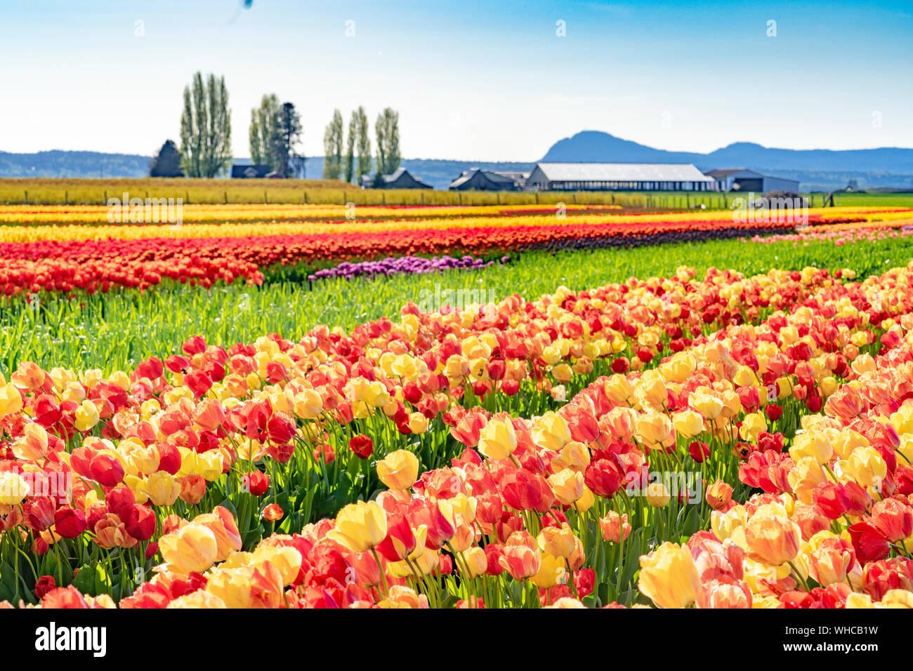 Bright multi-colored tulip field landscape. Stock Photo