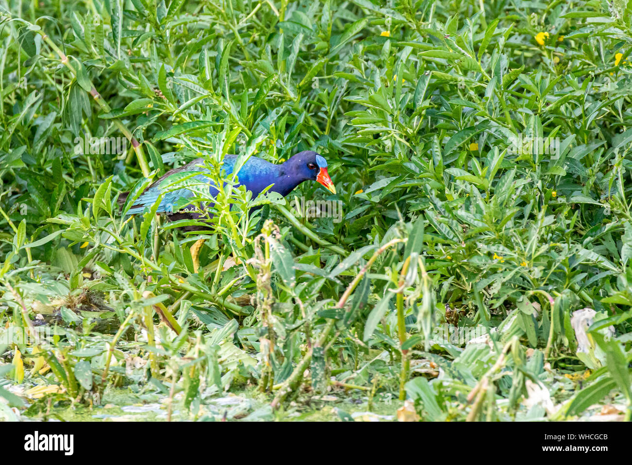 Purple Gallinule Foraging Stock Photo