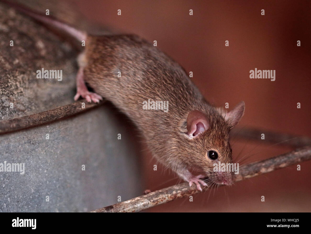 House Mouse (mus musculus) male Stock Photo