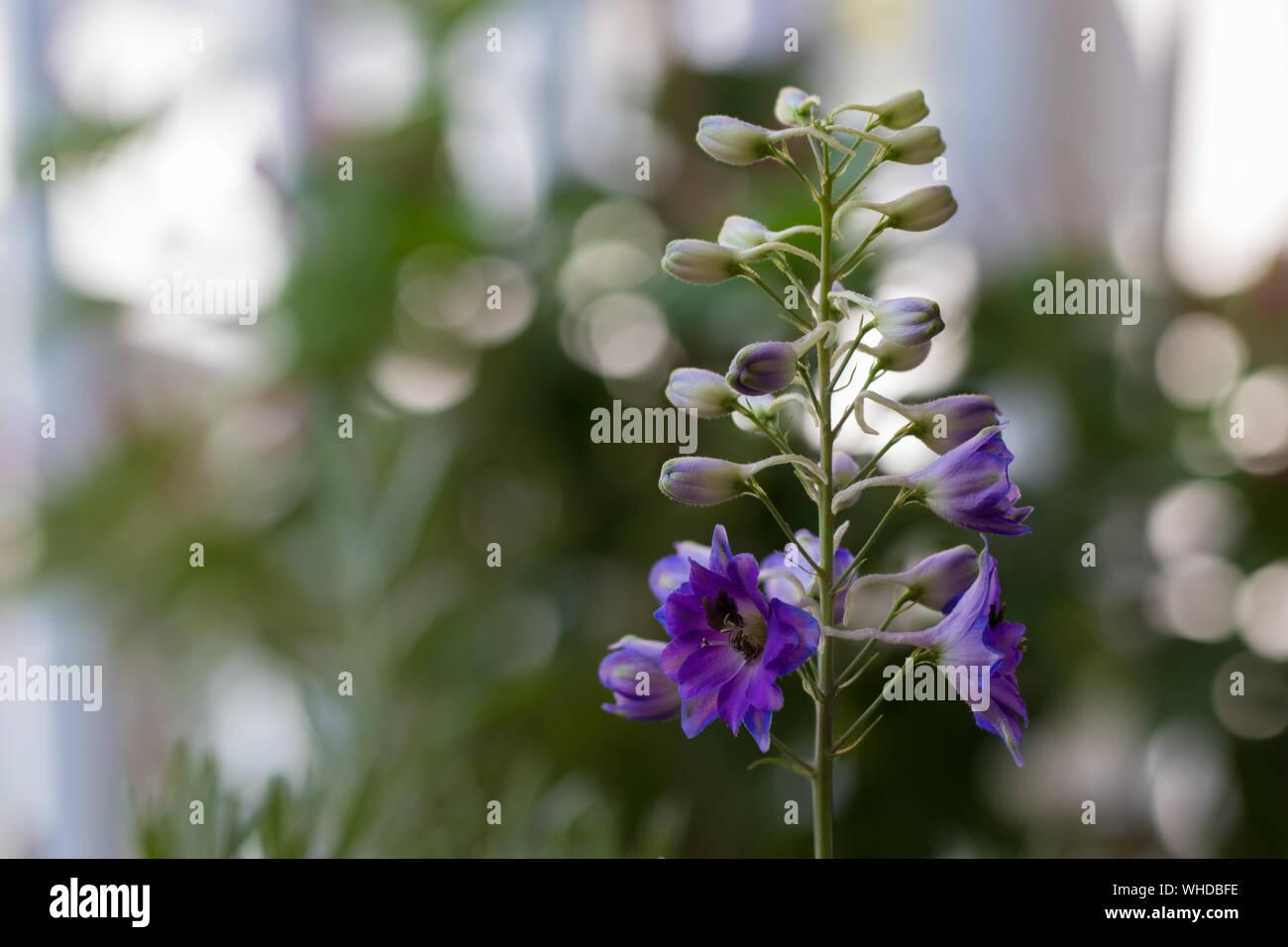 Aufblühender Blütenstand einer blau-violetten Rittersporn-Hybride mit vielen Knospen. Natürliches Licht, unscharfer Hintergrund. Stock Photo