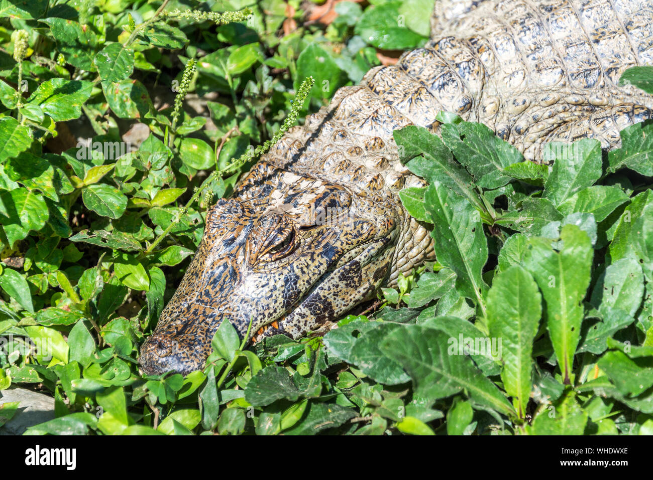 Caiman Amidst Leaves Stock Photo