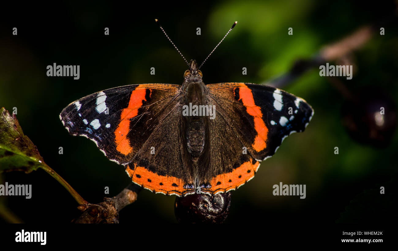 The beautiful red admiral butterfly (Vanessa atalanta) resting in the cherry tree after a meal of cherry. Uppland, Sweden Stock Photo