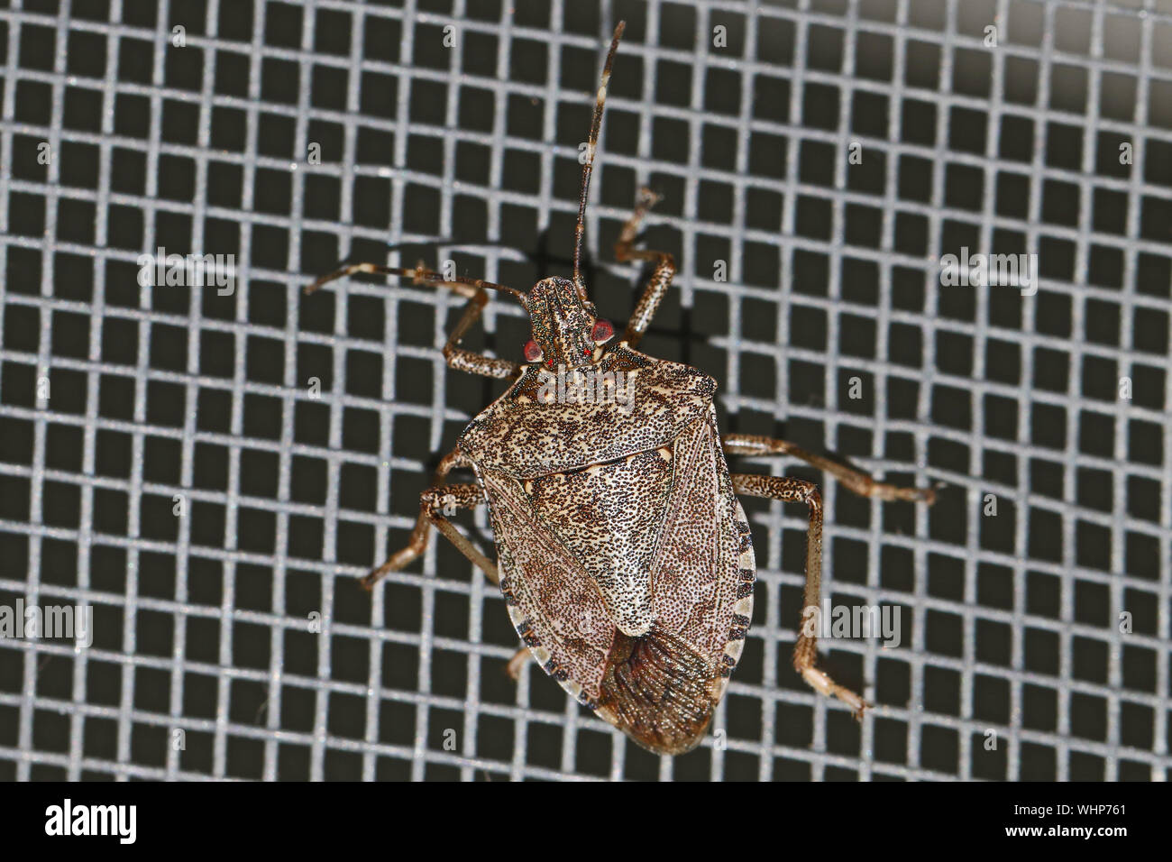 brown marmorated stink bug Latin halyomorpha halys from the pentatomidae family on a screen door in Italy a serious pest in Europe and the USA Stock Photo