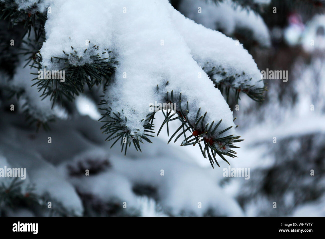 Christmas Tree Spruce Frost Snow Landscape Background Wallpaper Stock Photo Alamy