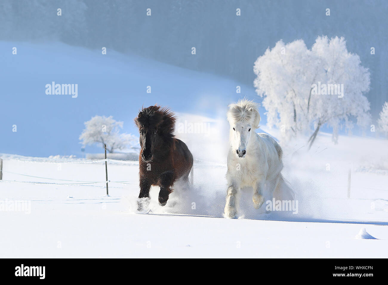 Horses Running In Snow High Resolution Stock Photography And Images Alamy