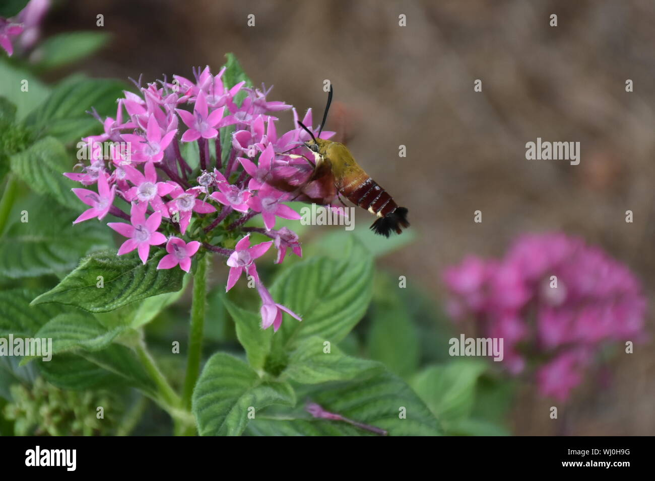A closeup nature photograph of a Hummingbird Clearwing Moth feeding on a flower. This Hemaris diffinis is feeding. Also known as bee hawk-moth. Stock Photo