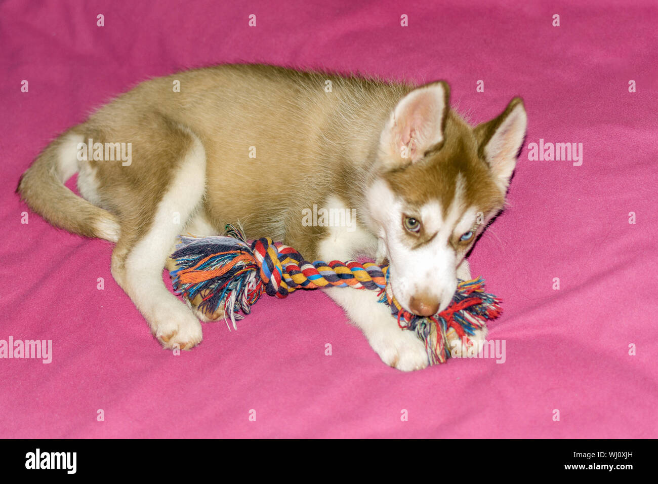 Husky Puppy Playing With Dog S Toy Siberian Beautiful White And Brown Dog Stock Photo Alamy