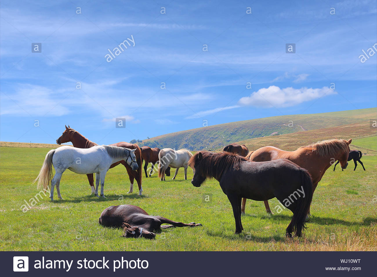 Herd of horses grazing on summer pasture in highlands Stock Photo