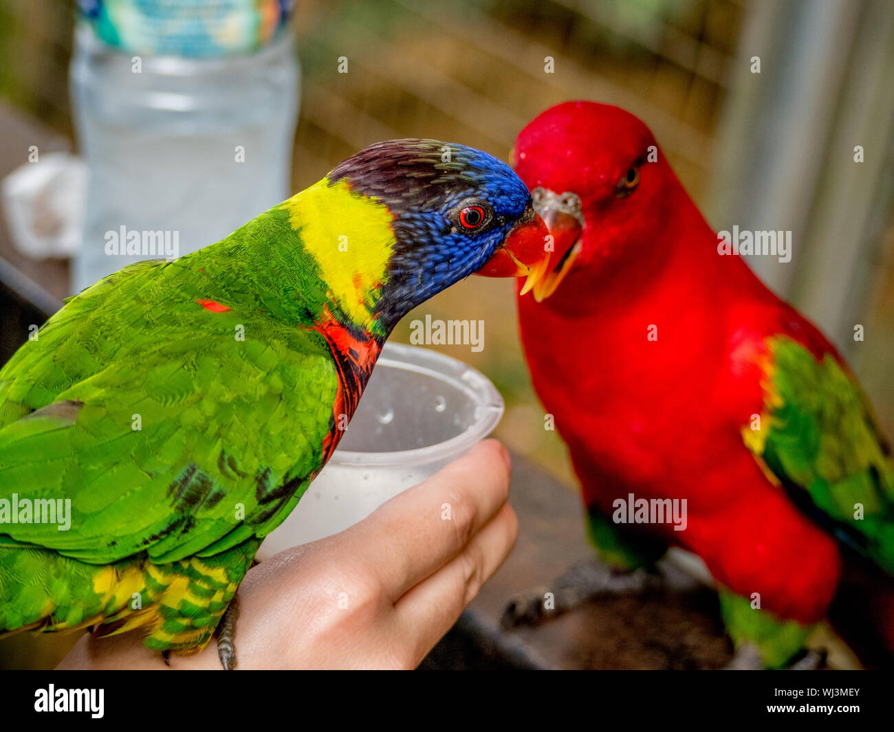 Close-up Of Parakeets Perching On Person Hand Stock Photo