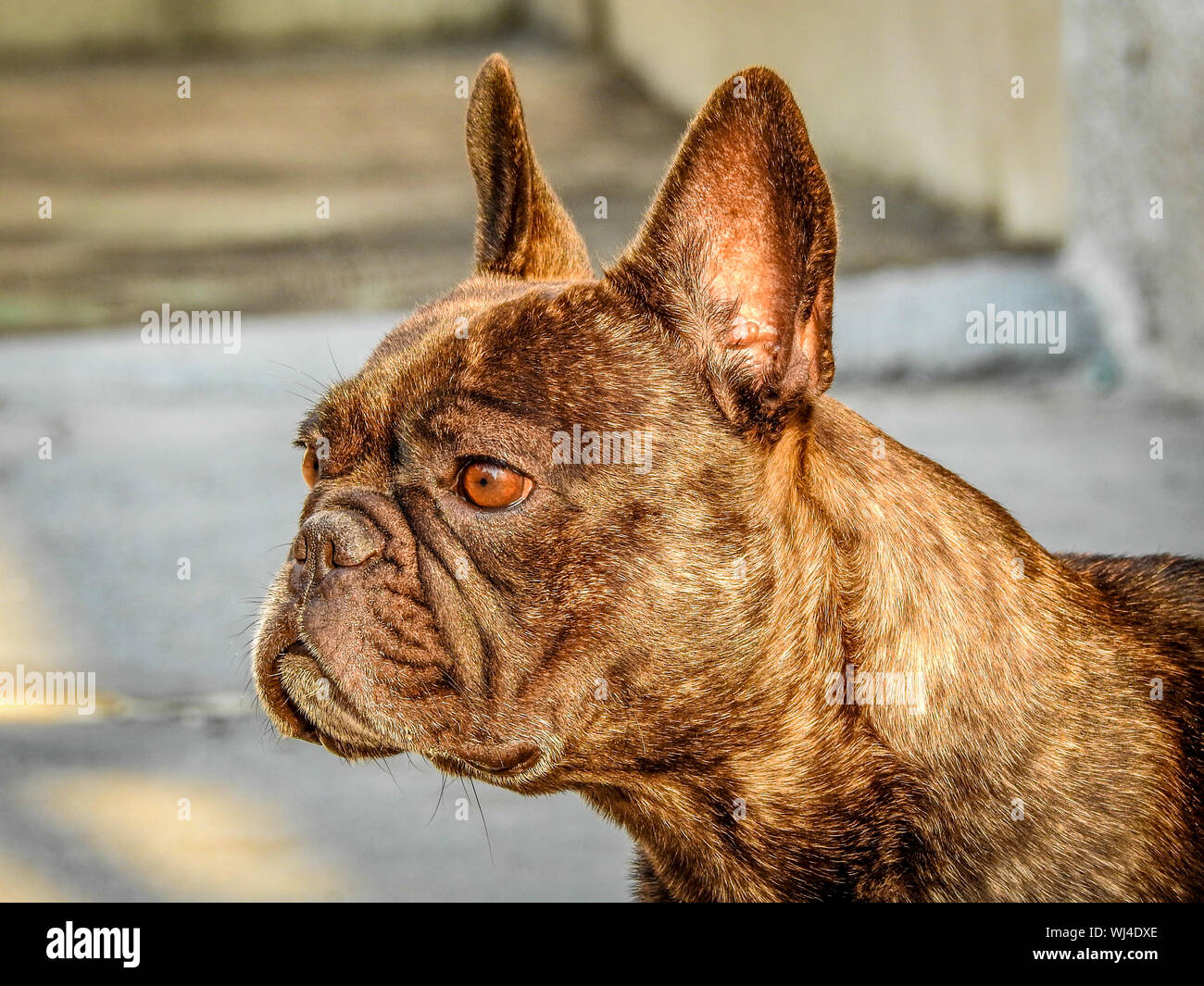Brown French Bulldog High Resolution Stock Photography And Images Alamy
