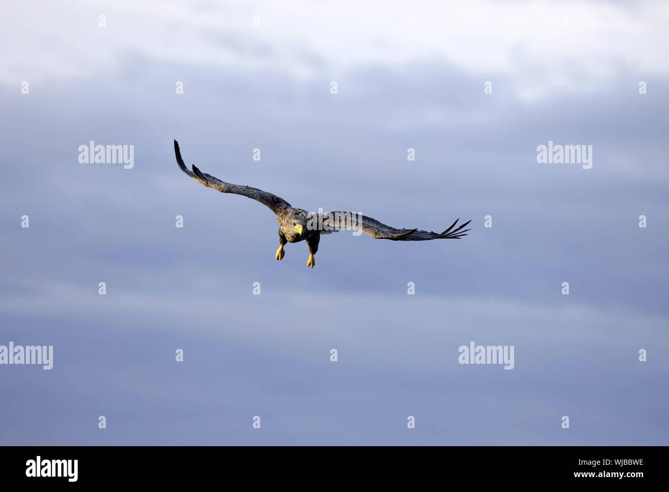 White-tailed Eagle, Haliaeetus albicilla, flying Stock Photo