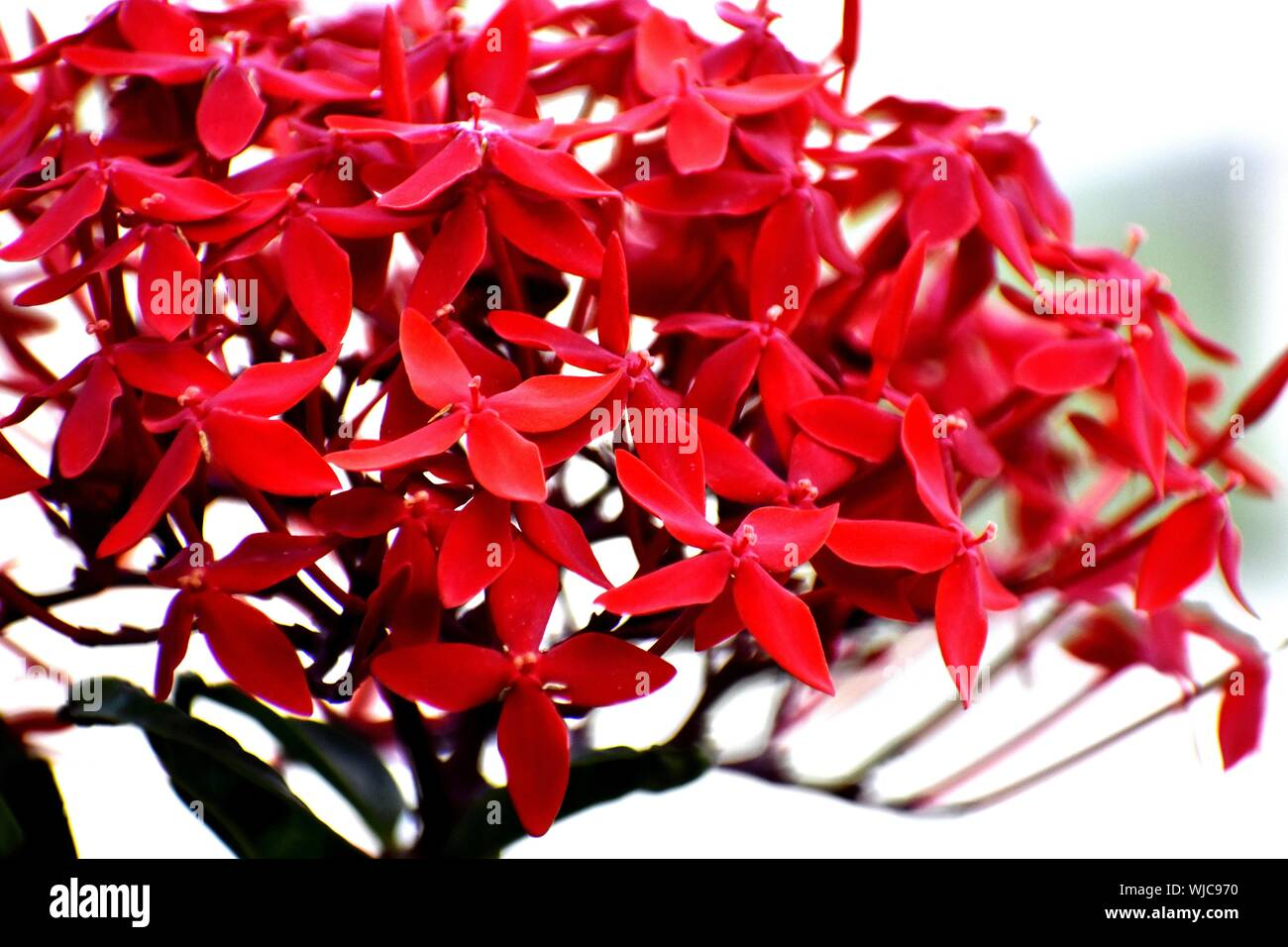 A Bunch of Fresh Red Flowers Stock Photo