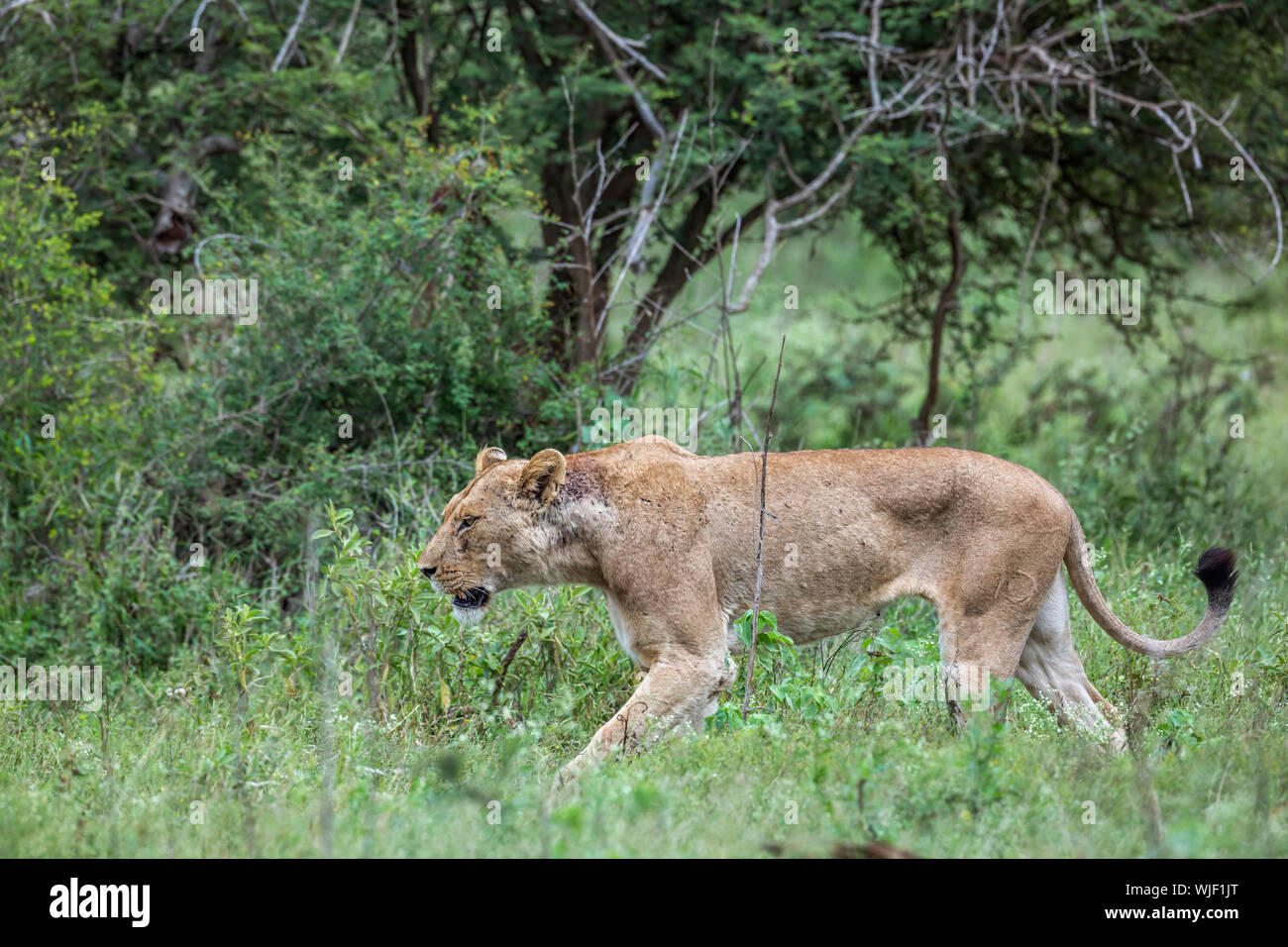 African lioness walking in green savannah in Kruger National park, South Africa ; Specie Panthera leo family of Felidae Stock Photo