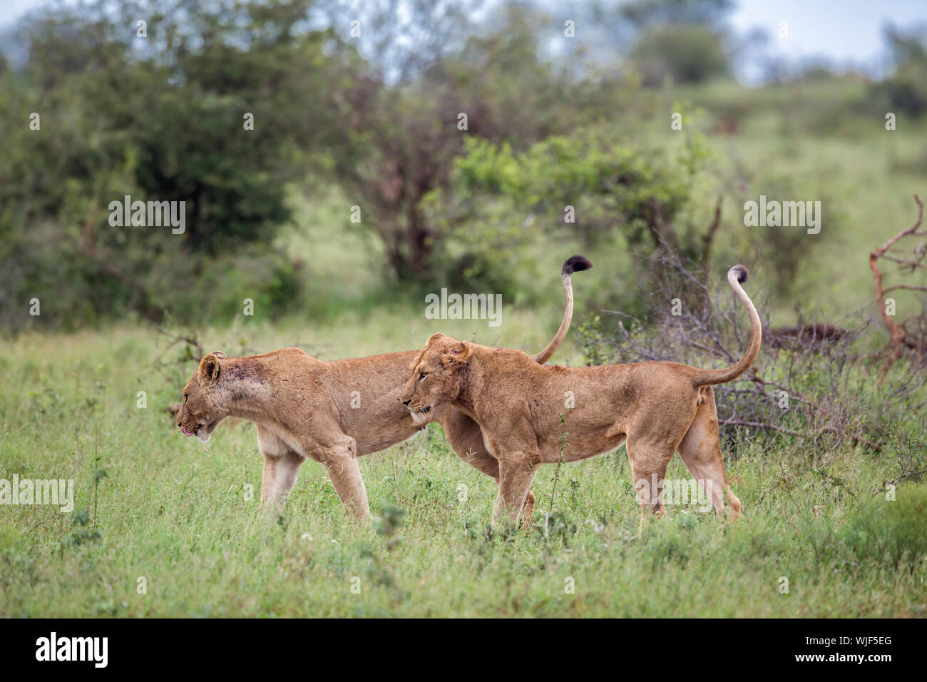 Two African lioness  tail up in green bush in Kruger National park, South Africa ; Specie Panthera leo family of Felidae Stock Photo