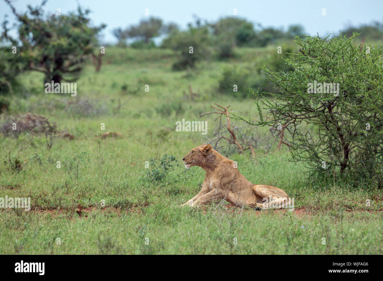 African lioness lying down in green bush in Kruger National park, South Africa ; Specie Panthera leo family of Felidae Stock Photo