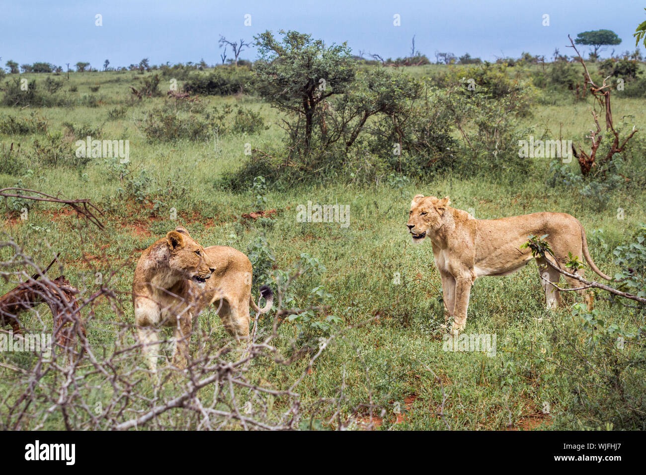 Two African lioness in green savannah in Kruger National park, South Africa ; Specie Panthera leo family of Felidae Stock Photo