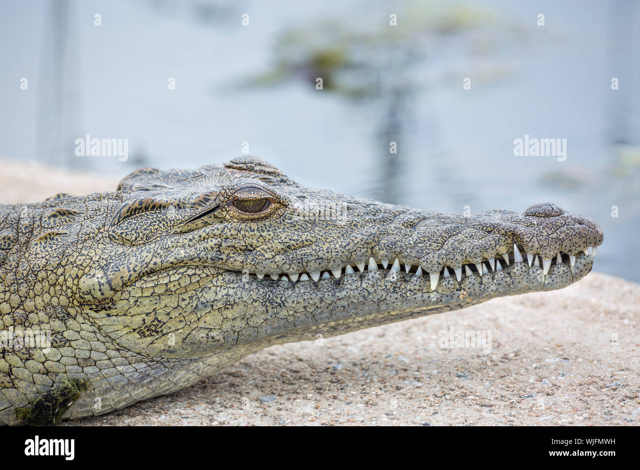 Nile crocodile portrait in Kruger National park, South Africa ; Specie Crocodylus niloticus family of Crocodylidae Stock Photo