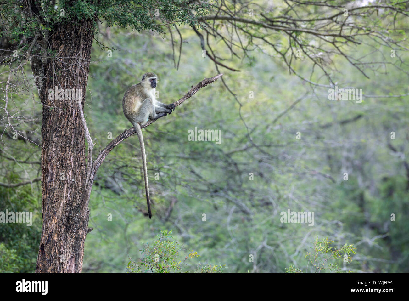 Vervet monkey sitting on a branch in Kruger National park, South Africa ; Specie Chlorocebus pygerythrus family of Cercopithecidae Stock Photo