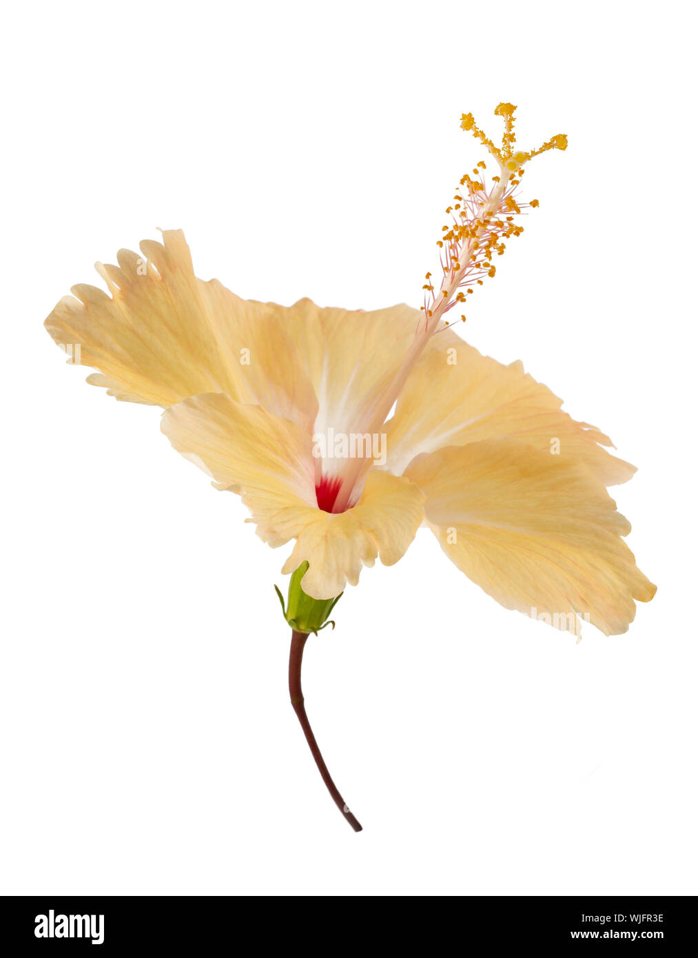 Yellow hibiscus flower  isolated on white background Stock Photo