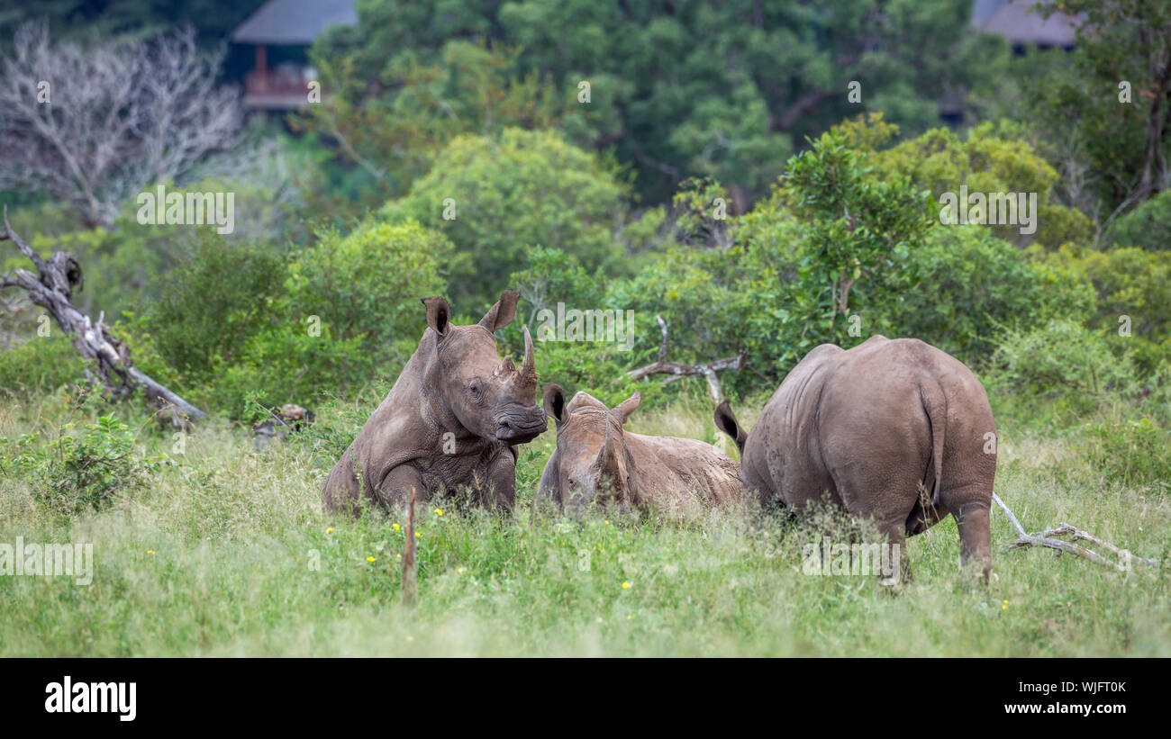 Three Southern white rhinoceros lyng down close to houses in Kruger National park, South Africa ; Specie Ceratotherium simum simum family of Rhinocero Stock Photo