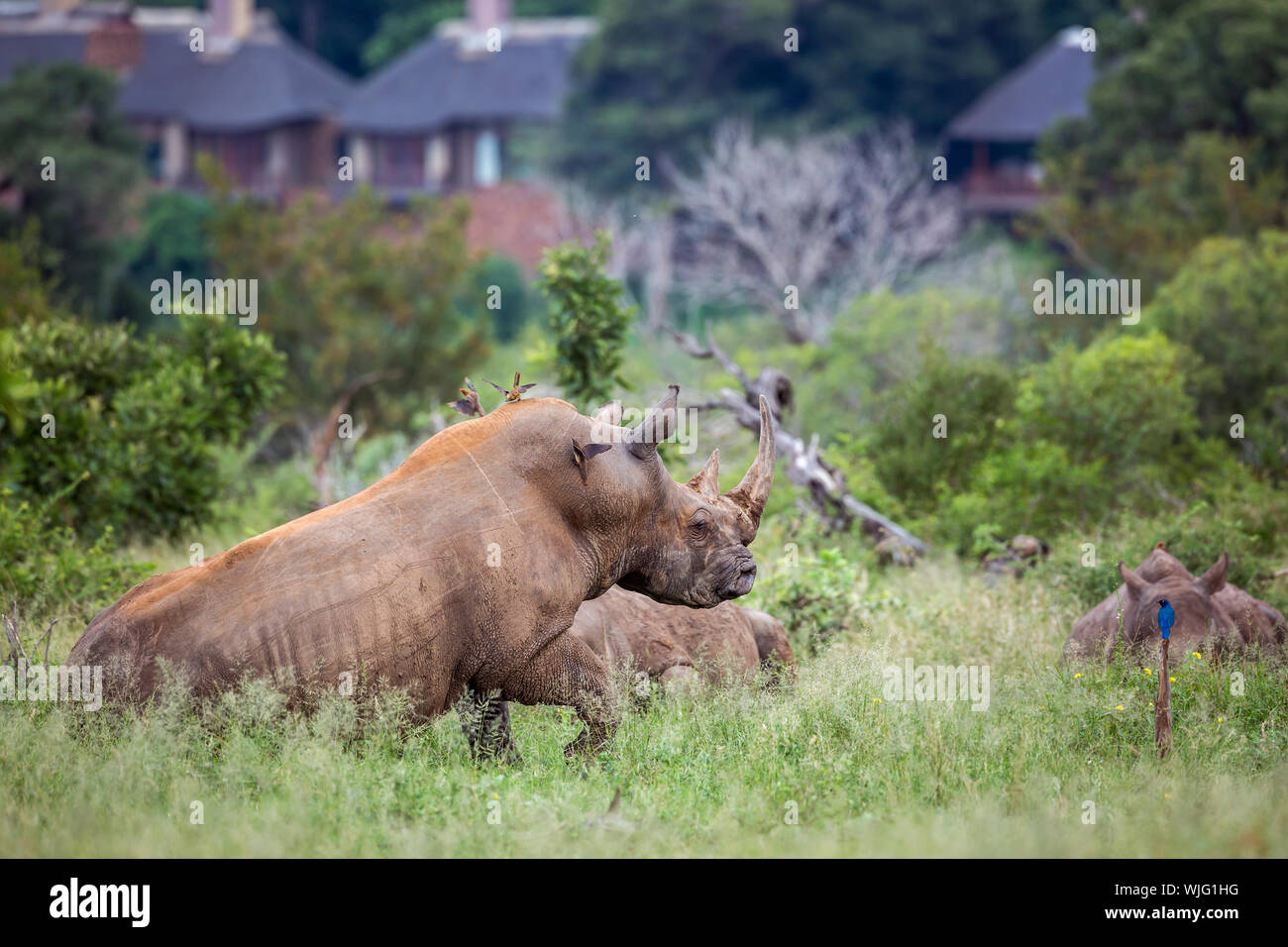Three Southern white rhinoceros lyng down close to houses in Kruger National park, South Africa ; Specie Ceratotherium simum simum family of Rhinocero - Stock Photo