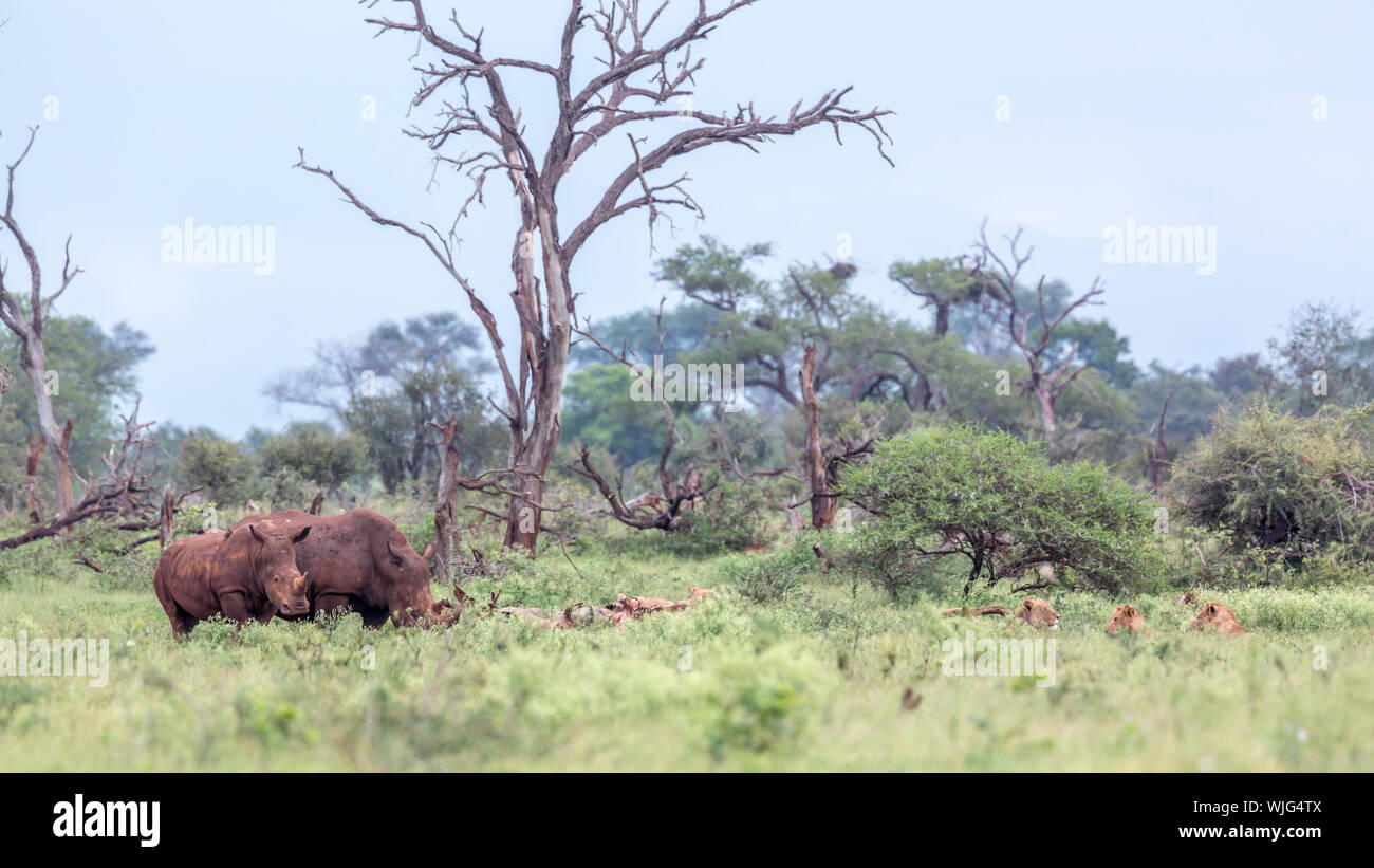 Southern white rhinoceros encounter lions in Kruger National park, South Africa ; Specie Ceratotherium simum simum family of Rhinocerotidae Stock Photo