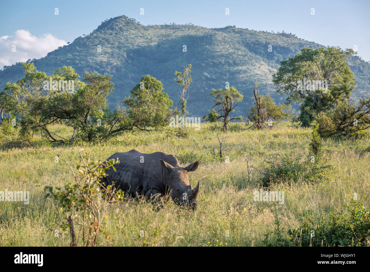 Southern white rhinoceros in green mountain scenery in Kruger National park, South Africa ; Specie Ceratotherium simum simum family of Rhinocerotidae Stock Photo