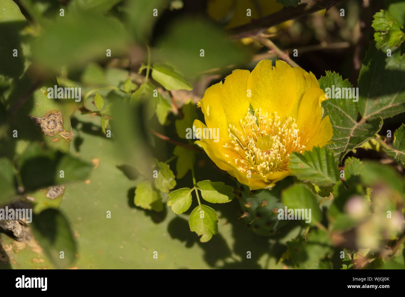 Beautiful flower of Prickly Pear in spring, fichi d'india are a typical fruit of the south of Italy, growing in Apulia, Salento Stock Photo