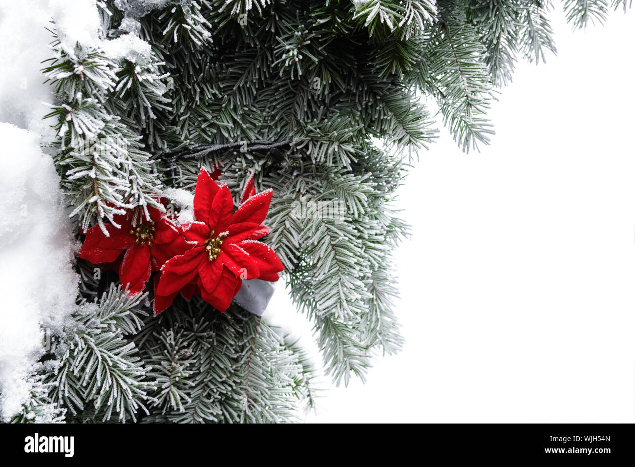 Frozen Christmas Decorations.Christmas Decorations Red Flower And Frozen Fir Stock Photo