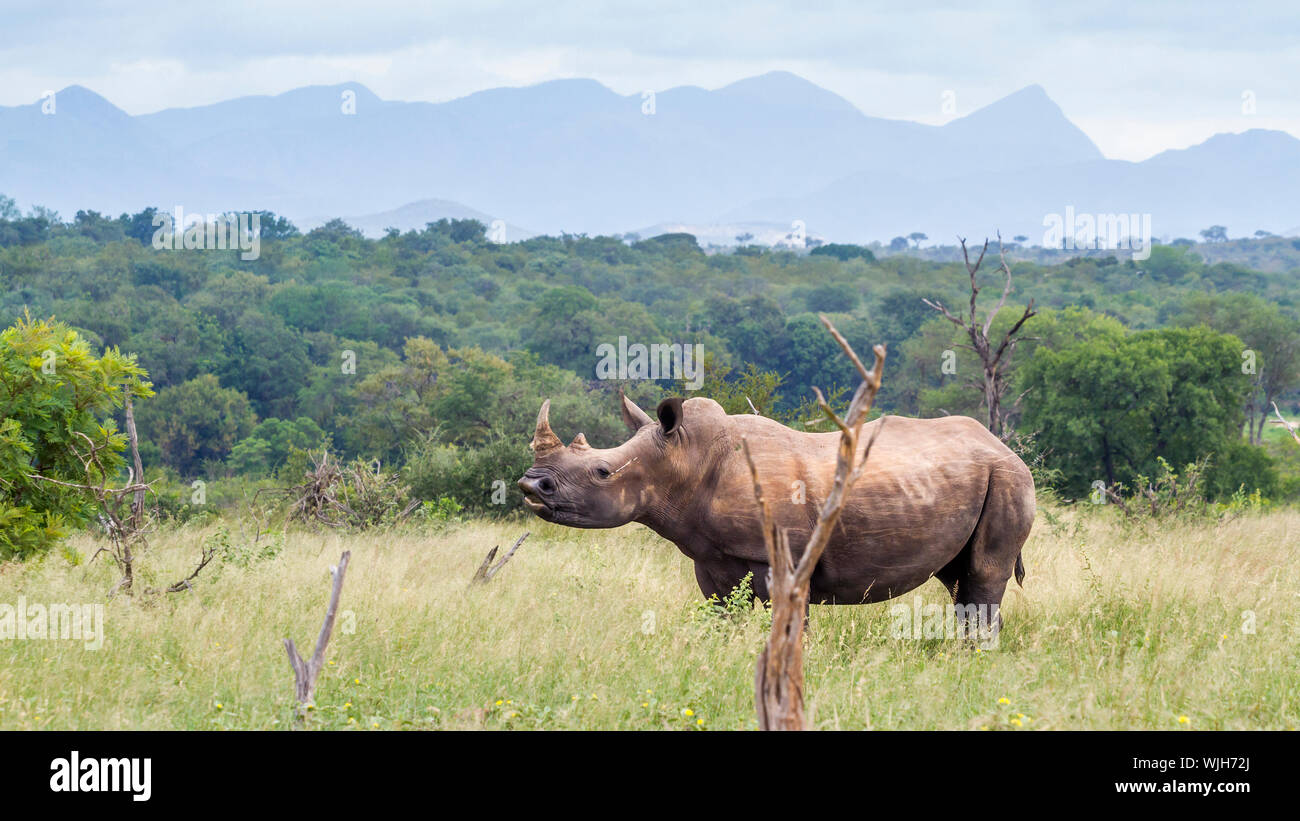 Southern white rhinoceros in green savannah in Kruger National park, South Africa ; Specie Ceratotherium simum simum family of Rhinocerotidae Stock Photo