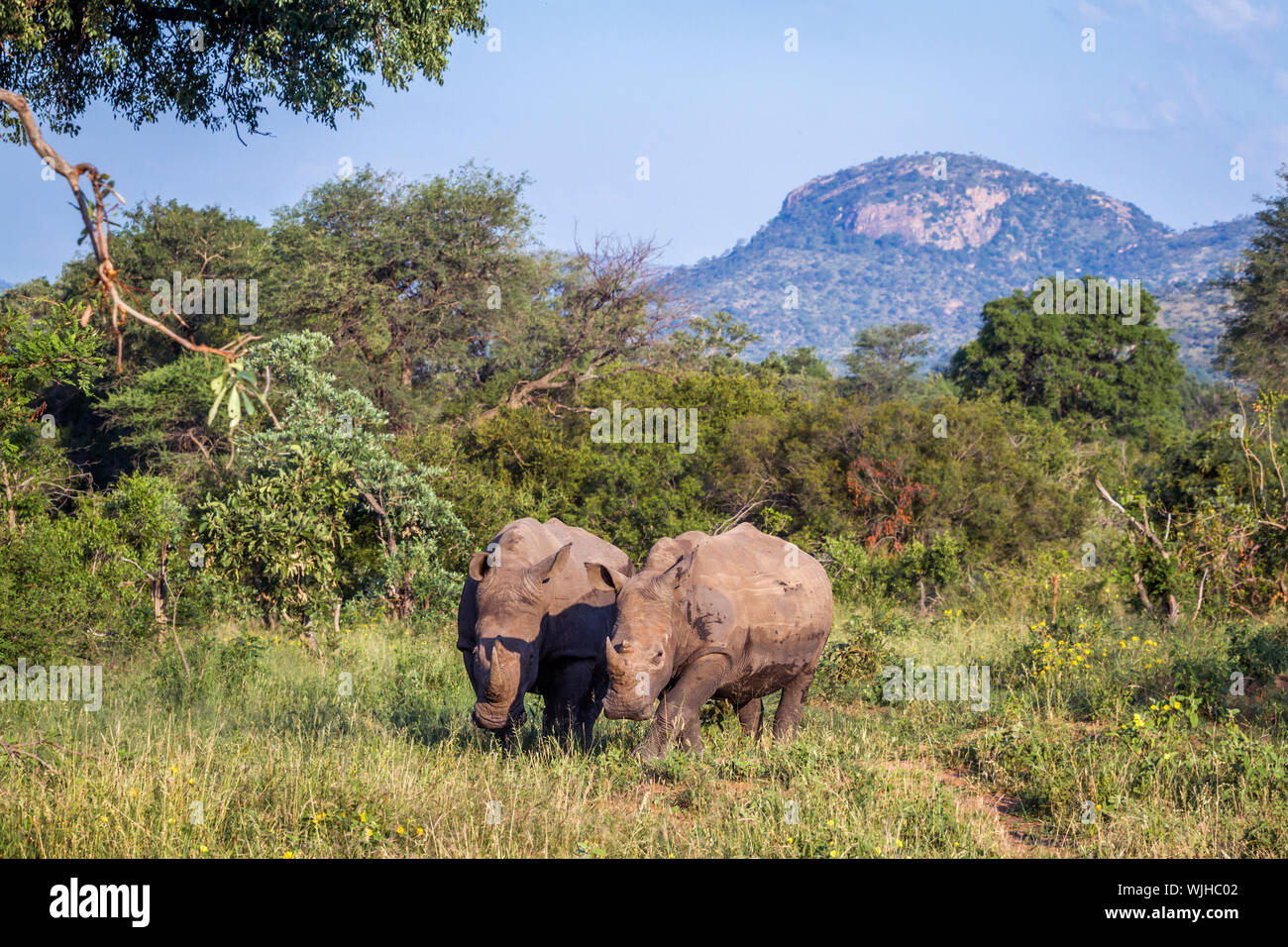 Two Southern white rhinoceros in green mountain scenery in Kruger National park, South Africa ; Specie Ceratotherium simum simum family of Rhinoceroti Stock Photo