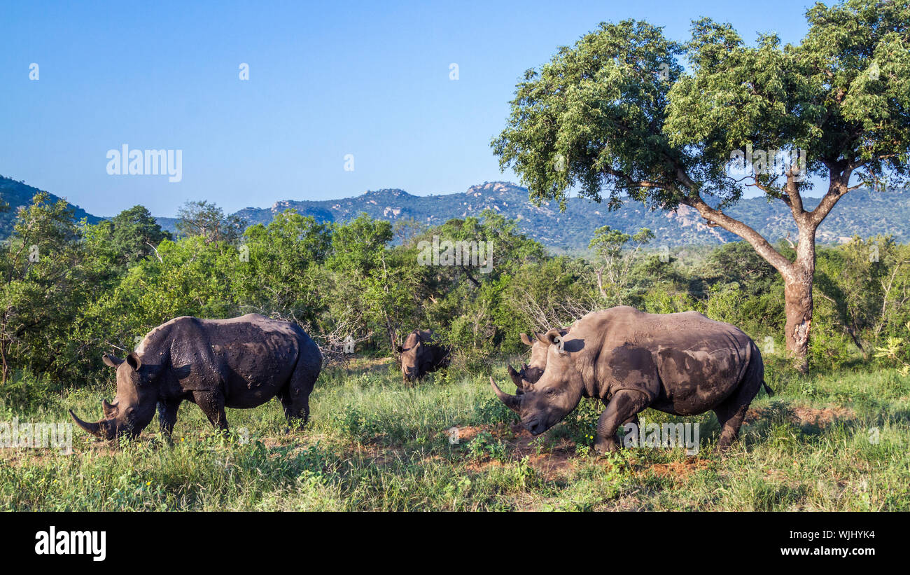 Four Southern white rhinoceros in green scenery in Kruger National park, South Africa ; Specie Ceratotherium simum simum family of Rhinocerotidae Stock Photo