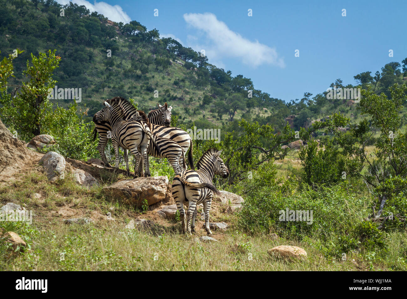 Small group Plains zebras in green mountain scenery in Kruger National park, South Africa ; Specie Equus quagga burchellii family of Equidae Stock Photo