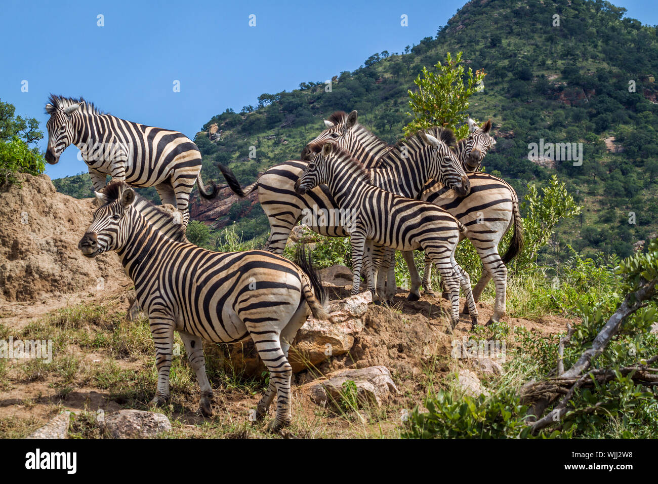 Small group of Plains zebras standing on rocks in Kruger National park, South Africa ; Specie Equus quagga burchellii family of Equidae Stock Photo