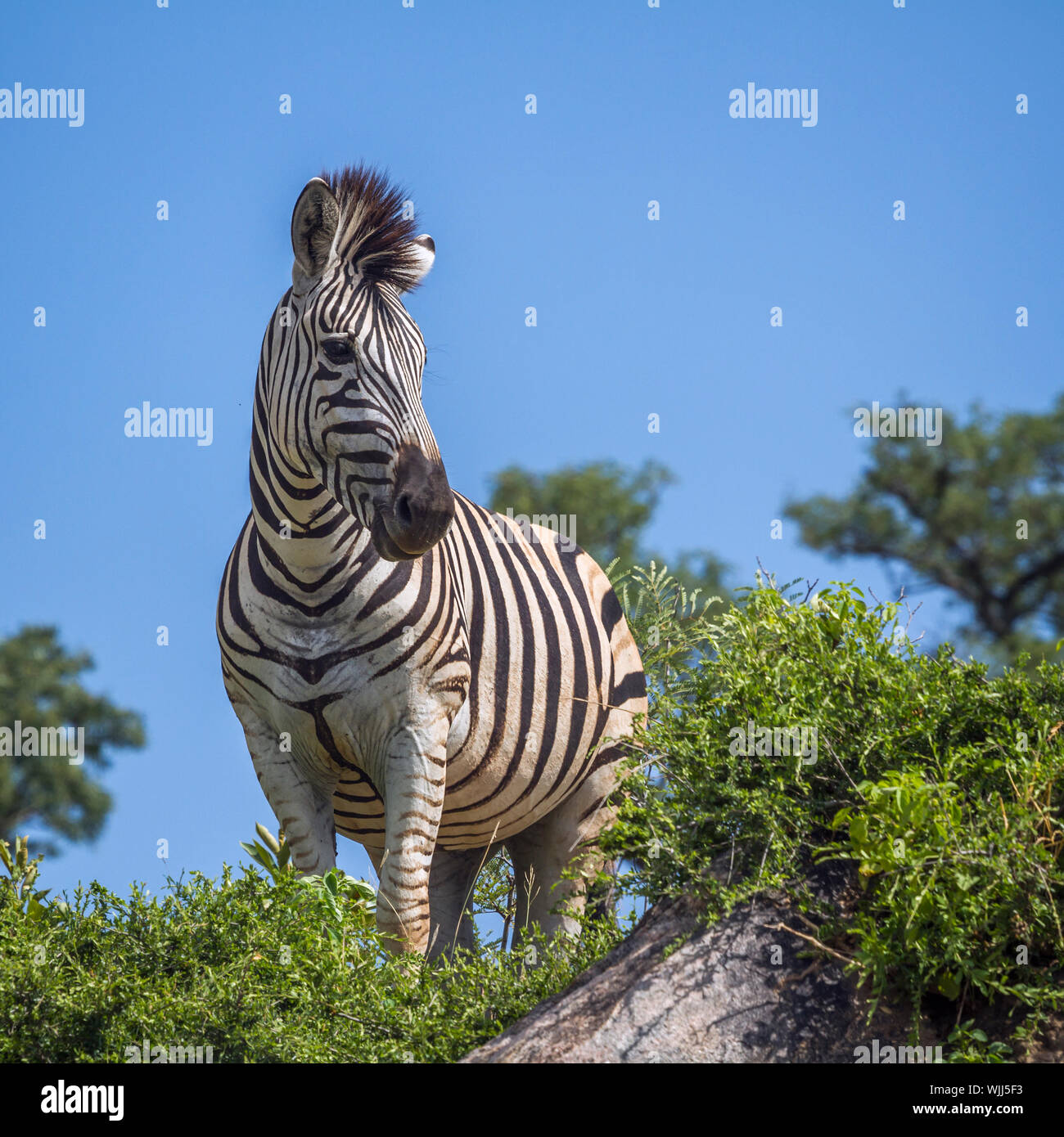 Plains zebra standing on a rock isolated in blue sky in Kruger National park, South Africa ; Specie Equus quagga burchellii family of Equidae Stock Photo