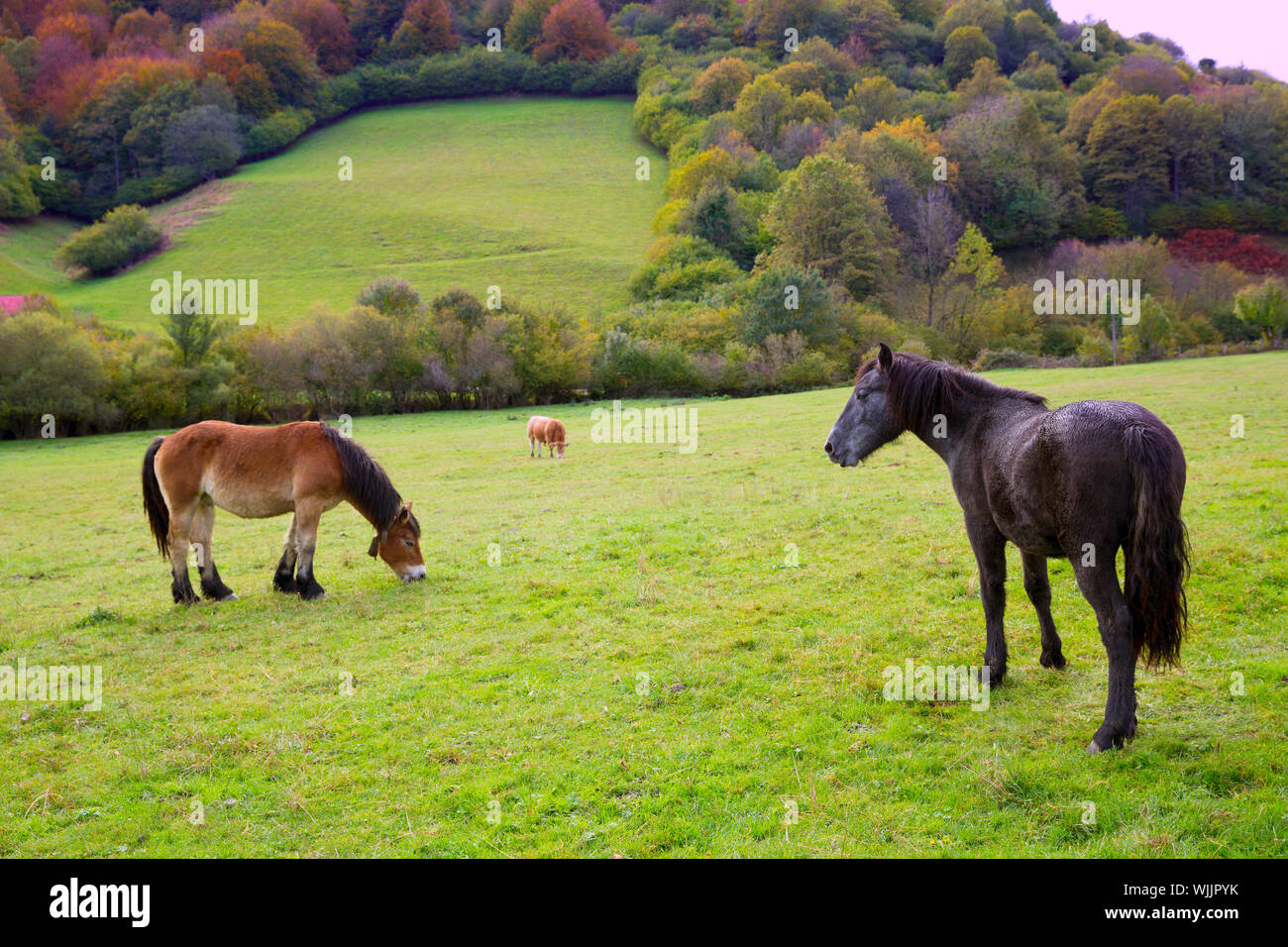 Horses and cows grazing in Pyrenees green autumn meadows at Spain Stock Photo