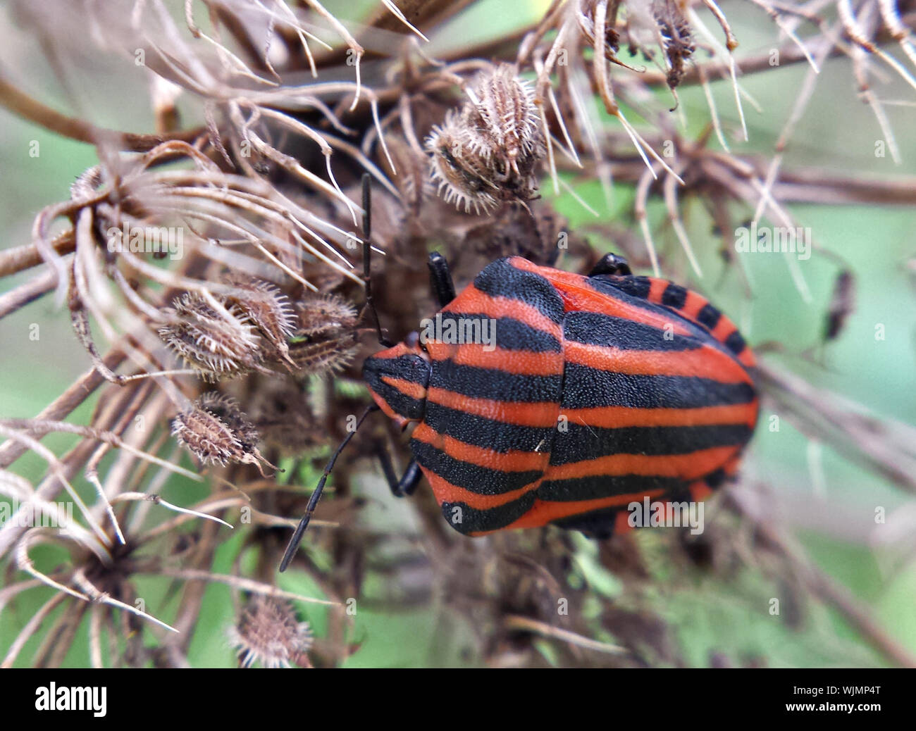 Close-up Of Graphosoma Lineatum On Plant Stock Photo