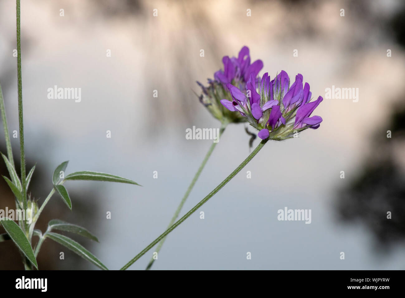 Purple color flower of arabian pea. Close-up. Blurred background. Stock Photo