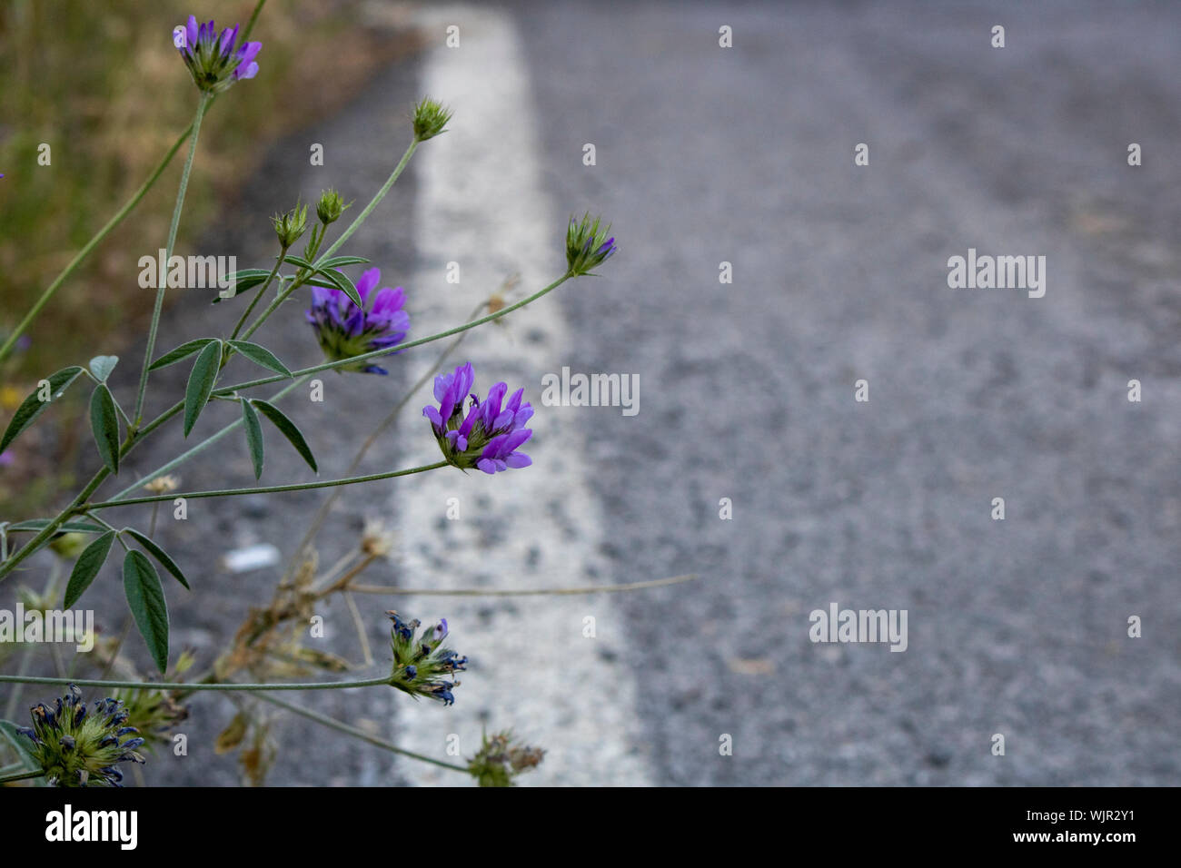 Purple color flower of arabian pea. Close-up. Blurred background. White line on the roadside Stock Photo