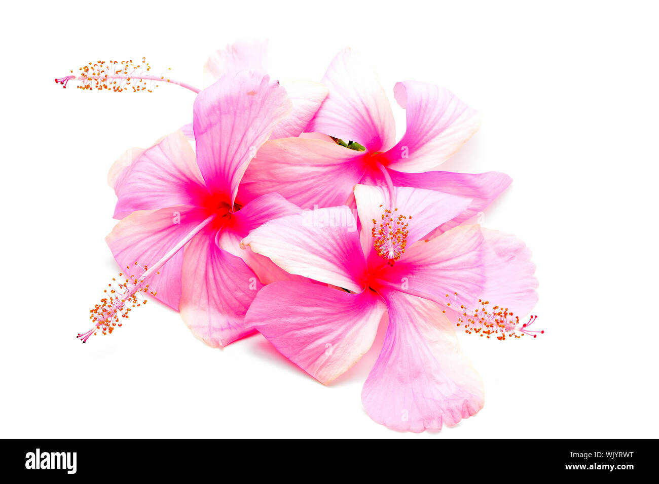 Colorful pink Hibiscus flower, isolated on a white background Stock Photo
